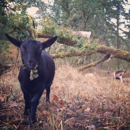 goat munching fall leaves