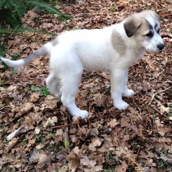 Anatolia/Pyrenees Puppy