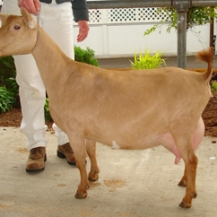 Full Sister - CH Poppy Patch HB Lady In Red {Photo courtesy of Poppy Patch Farm}