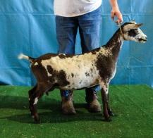 Photo courtesy Agape Oaks Dairy Goats