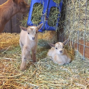 Baby goat twins.
