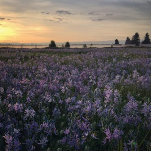 Our field covered in Camas flowers,