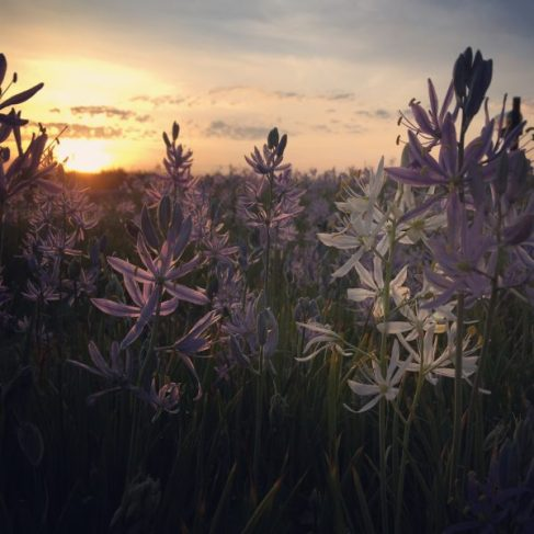 Camas flowers at sunrise.