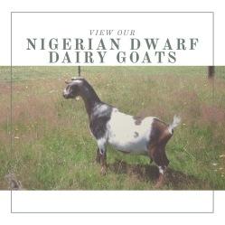 Nigerian Dwarf Dairy Goats