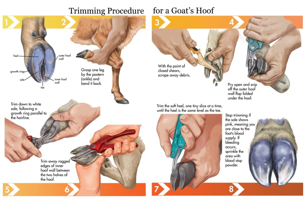 hoof trimming